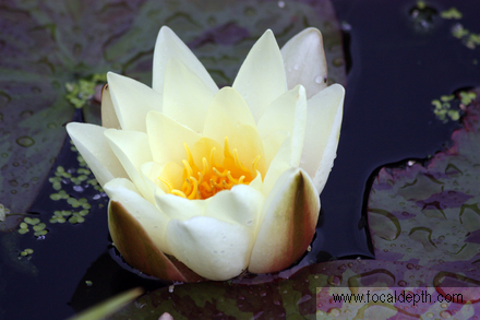 Flowers - Water lilly