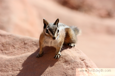 Wildlife - Chipmunk at Scout's Landing,near Angel's Landing, West Rim Trail, Zion