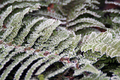 Flowers - Frosty fern