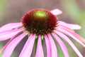 Flowers - Echinacea or Coneflower